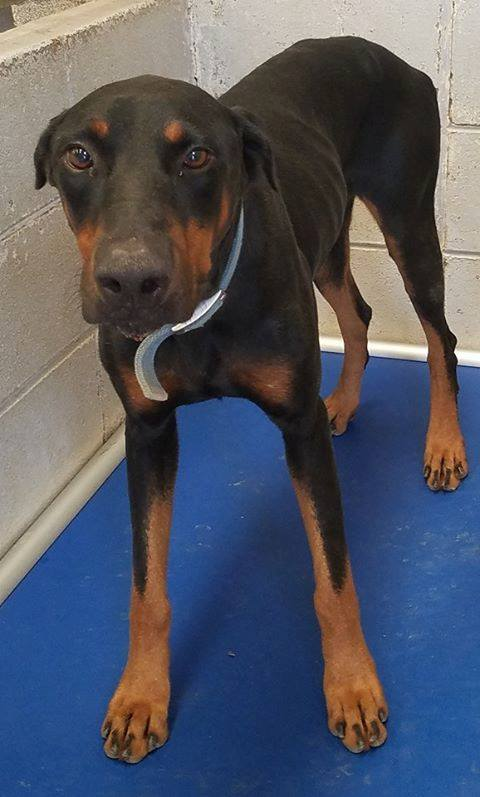 Picked up on 8-30-17, found on Precilla @ Fletcher, Male, weighs 56 pounds. #31111