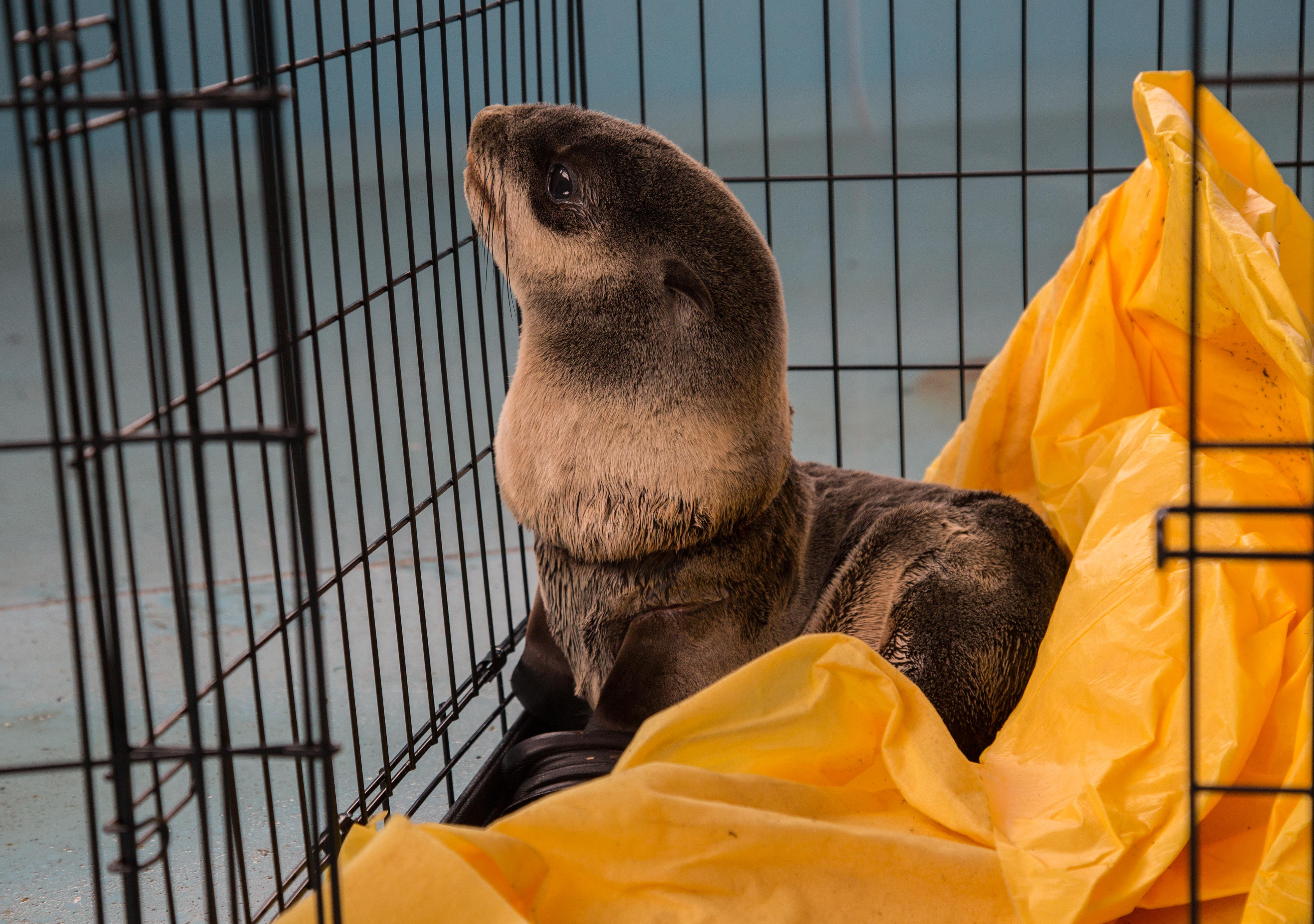 "The injury is not unfamiliar to the Oregon Marine Mammal Stranding Network, with which Jim Rice also works. ""When people release balloons into the air, they often end up in the ocean. Then the string potentially becomes entanglement to marine life,"" he said. ""The OMMSN sees this situation often. We don't get an awful lot of live fur seals, but we do see dead entangled animals regularly. This guy is lucky."" (Oregon Coast Aquarium)"