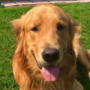 Golden retriever discovers $85,000 worth of black tar heroin in backyard