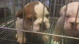 Conway police need help finding stolen English Bulldogs