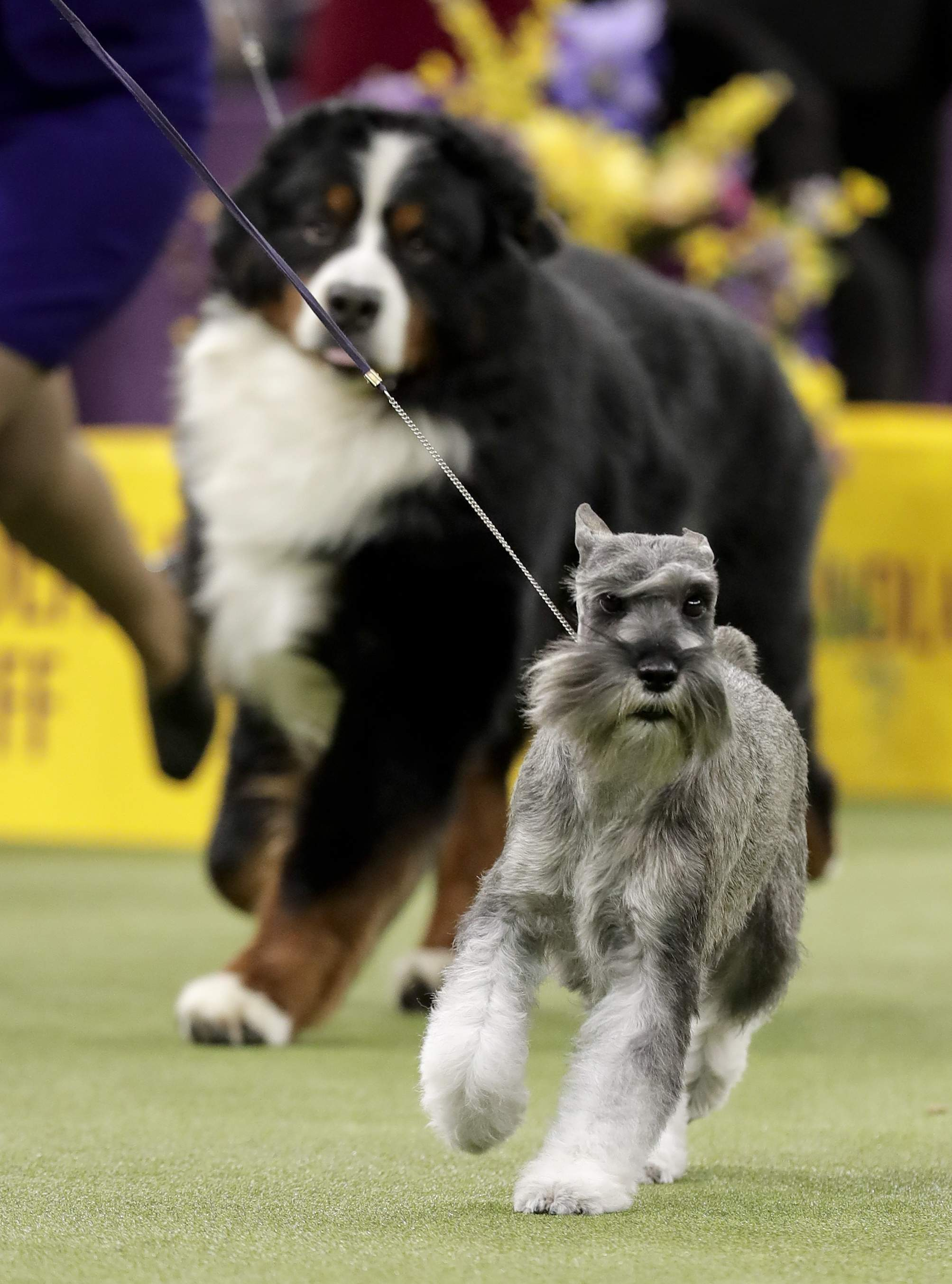 A standard schnauzer takes another lap around the ring during the working group competition at the 141st Westminster Kennel Club Dog Show, Tuesday, Feb. 14, 2017, in New York. THE ASSOCIATED PRESS