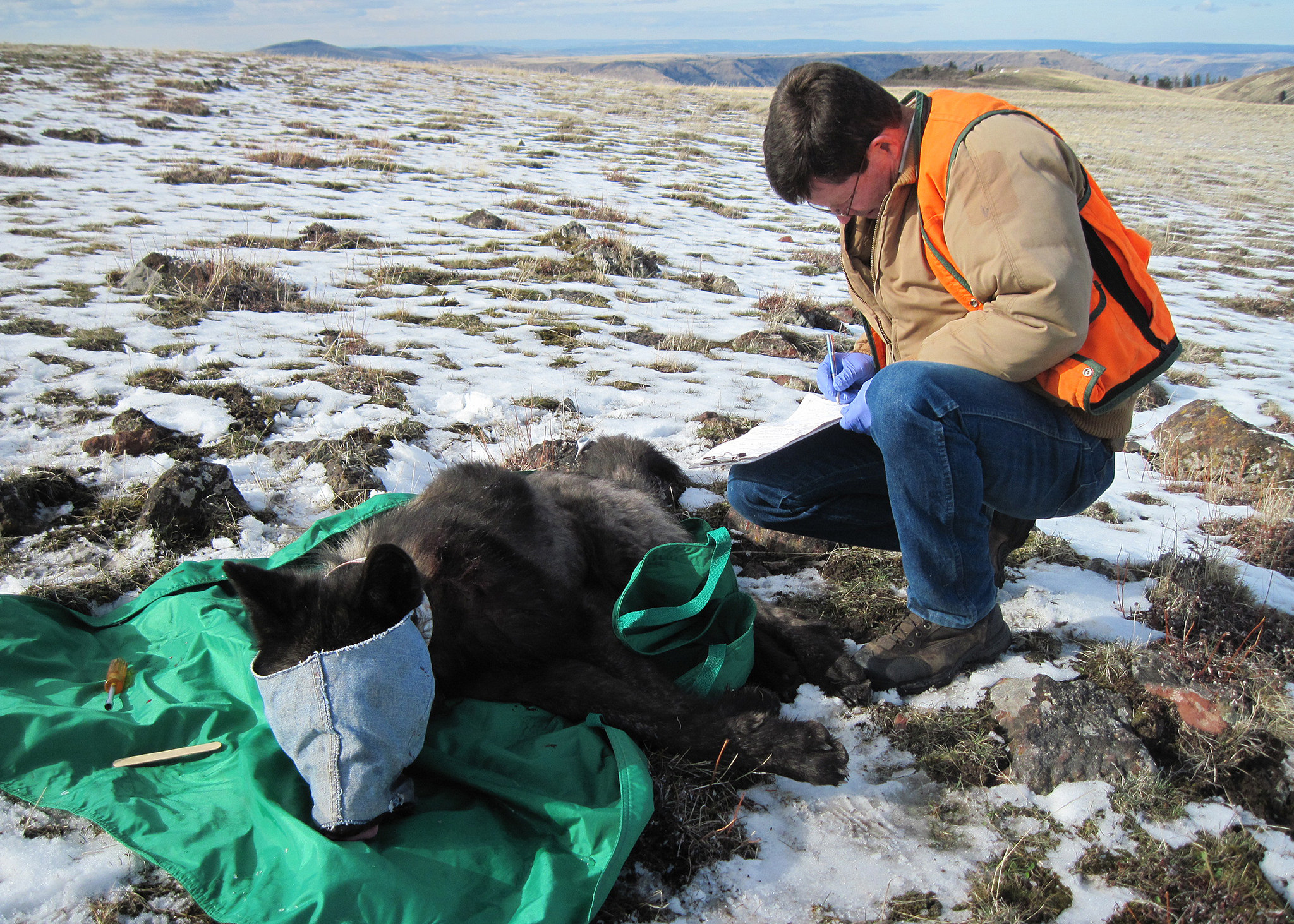 An ODFW biologist in the process of collaring wolf OR33, a 2-year-old adult male from the Imnaha pack. Larger wild animals are typically blindfolded while immobilized to protect eyes and to help calm them. Feb. 25, 2015, in Wallowa County. (ODFW)