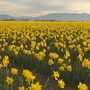 Daffodils in full bloom in Skagit Valley, a few sunny days could bring out early tulips
