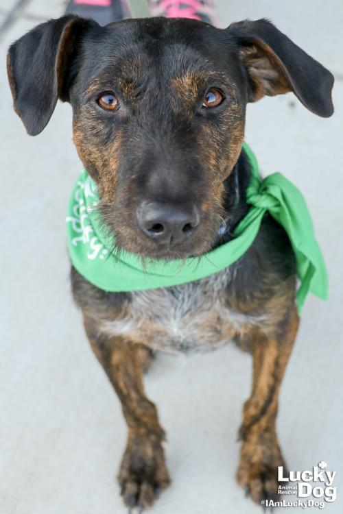 Hailey Girl is a 15-month-old, 30-pound Airedale/Cattle Dog mix. Hailey loves her people, and needs a home where somebody is at home with her most of the day. You can get more info about Hailey Girl here: https://bit.ly/2Acns65 (Image: Courtesy Lucky Dog Animal Rescue)