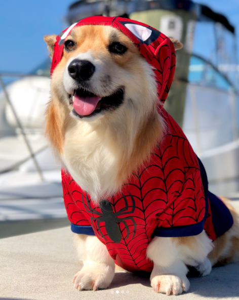 IMAGE: IG user @moogle_the_fluffy_corgi / POST:{&amp;nbsp;}When you dress up as your most favorite superhero and reach ultimate Halloween satisfaction. Happy Halloween!{&amp;nbsp;}<p></p>