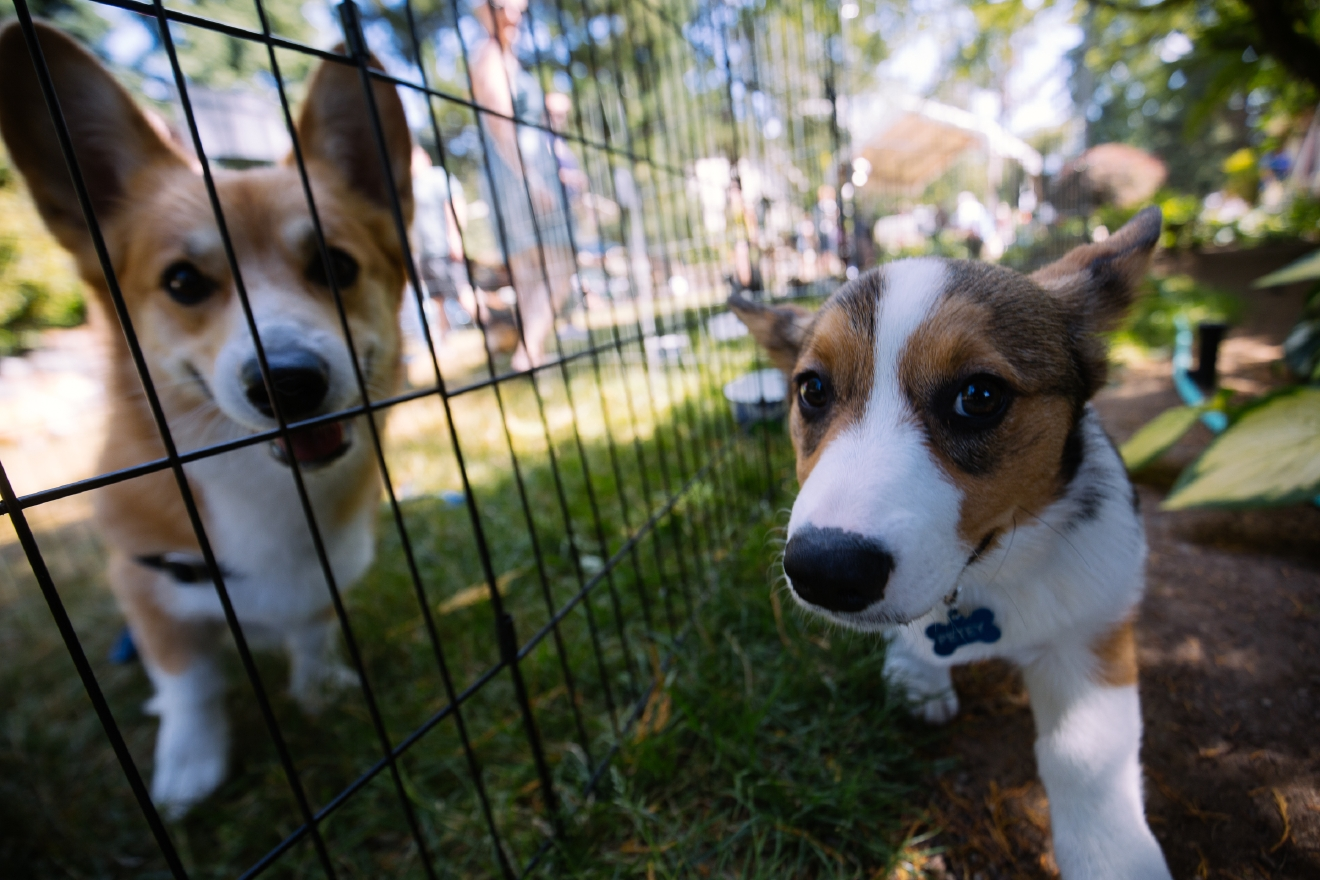 Over 150 owners and their corgis came out to the 2016 Pacific Northwest Corgi Picnic in Woodinville, WA. Kathy and Leo Notenboom hosted the annual event at their home which raised money for CorgiAid, a not-for-profit corgi assistance organization. The corgi picnic has become a ticketed event to limit attendance because it has become so popular and to be a safe environment for everyone. July 30th (Joshua Lewis / Seattle Refined)