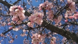 PHOTOS: Beautiful cherry blossom pics from ABC7 viewers