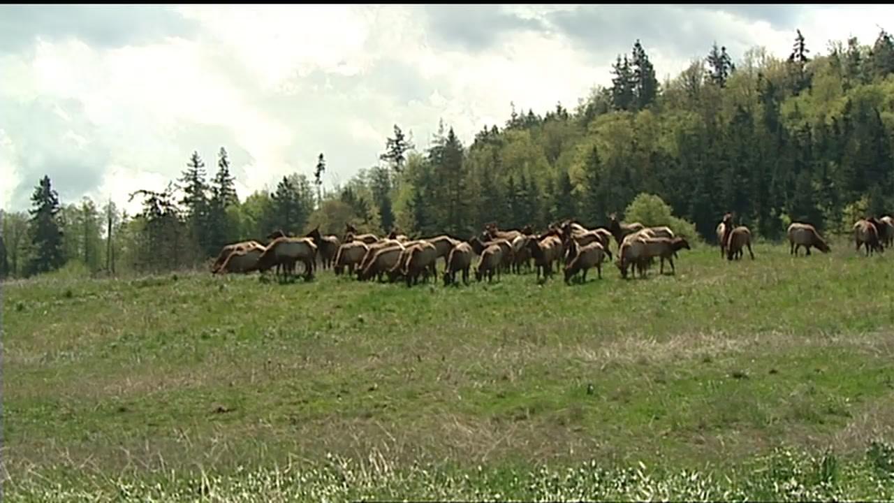Neighbors say drones may be harassing elk at wildlife preserve wpbn