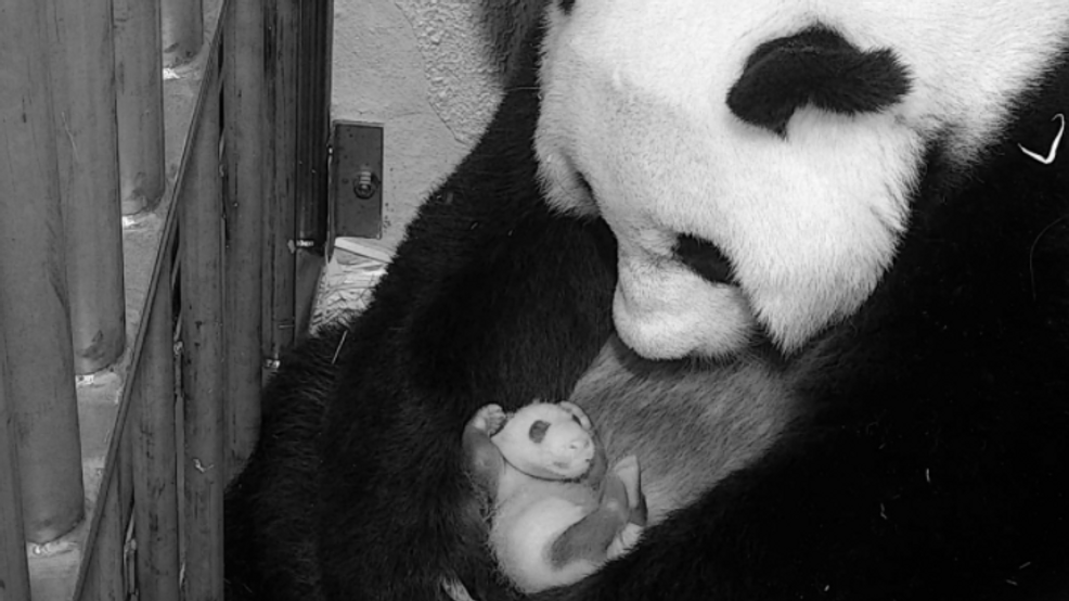 National Zoo's baby panda is officially 1 month old