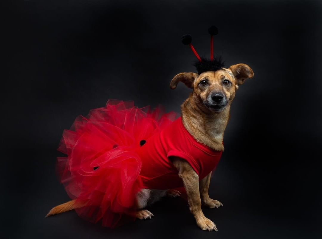 Regular ladybug by day, sexy ladybug by night!{ }(Image: via IG user @izzytherescuepup)
