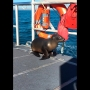 Cutest captain: Sea lion caught in fishing gear hops on boat