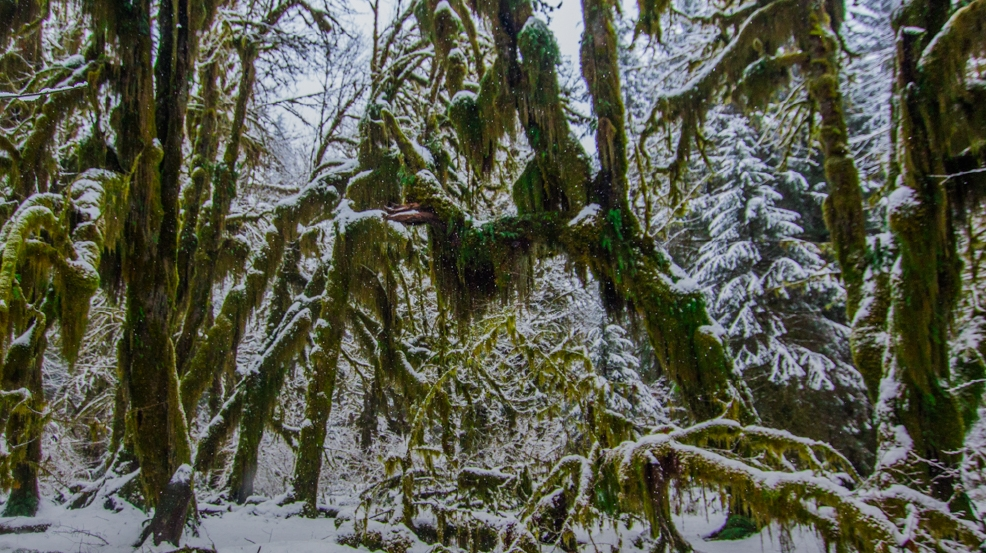 "Photos: Hoh rain forest turns into the Hoh ""snow"" forest"