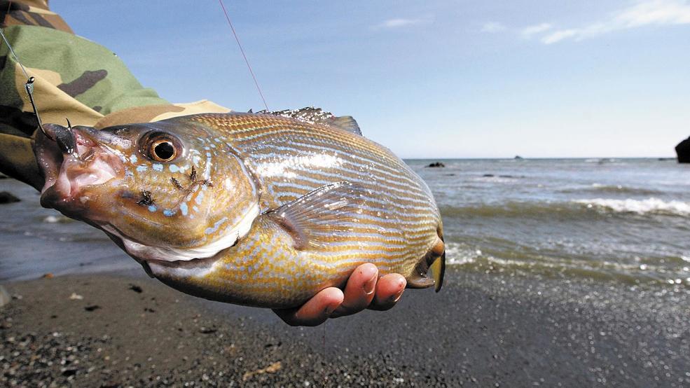 OREGON OUTDOORS VIDEO: Surfperch Fishing the Southern Oregon Coast pt2