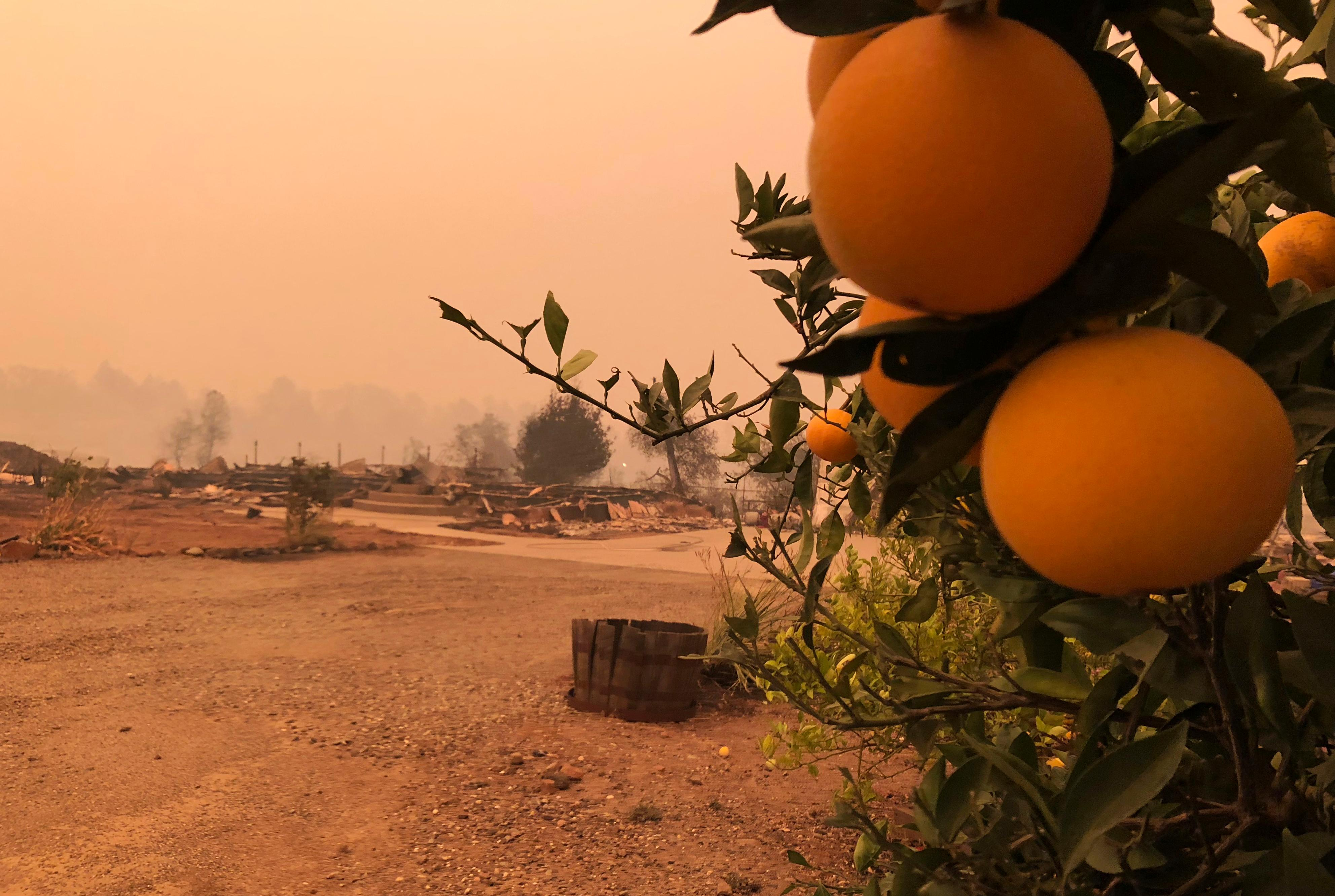 This photo shows orange and lime trees at a burned-out property in Paradise, Calif., Friday, Nov. 9, 2018, after a wildfire swept through the area. (AP Photo/Gillian Flaccus)