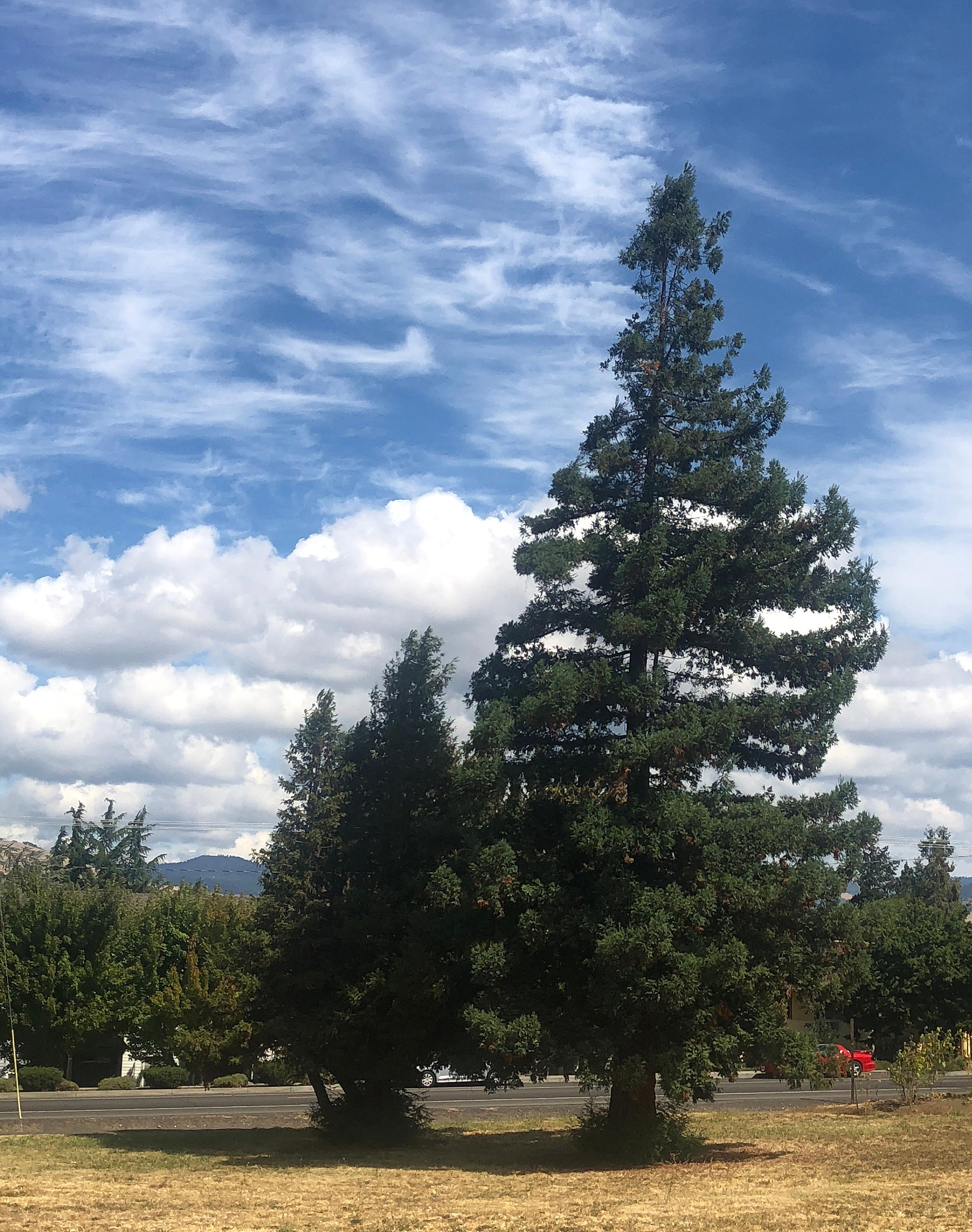 A pair of redwood trees on the lot will be cut down. (Tidings file photo)