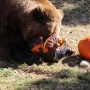 Zoo animals have fun with pumpkins