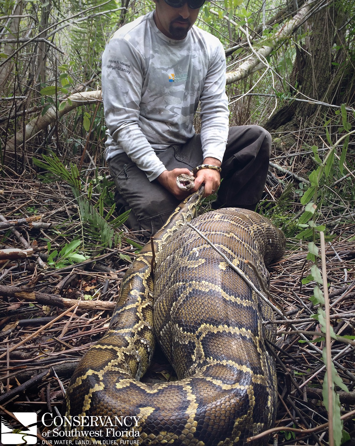 Researchers studying invasive Burmese pythons in Florida came upon something they'd never seen before: an 11-foot-long python had consumed an entire deer that weighed more than the snake itself. (Conservancy of Southwest Florida)