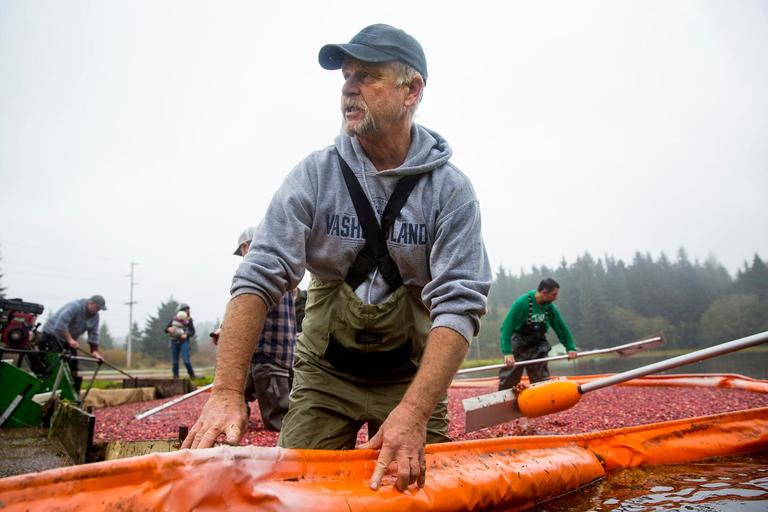 John Oakes slides along the floating boom to corral the floating berries into the conveyor belt during the annual harvest at Starvation Alley Farms. Oakes is a commercial fisherman and came back from Alaska the day before to help with the harvest. (Sy Bean / Seattle Refined)