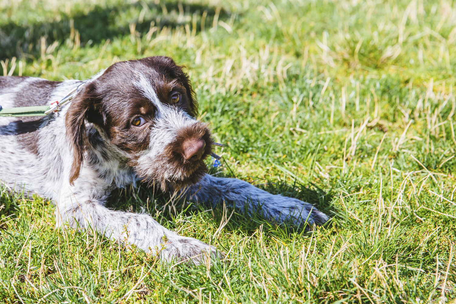 I think I just found my future breed of pup to get. ANYWAYS! Meet this sweet boy, Louie Clyde. He is a 5-month-old German Wirehaired Pointer and makes our hearts swell. Louie Clyde is a busy guy and will get fairly tall and active. His mom is a runner and the whole fam is also active so they are expected to have a lot of fun adventures together! Louie likes playing with other pups, his family, his stuffed bunny, a good tennis ball, walks to the lake, love and attention, and snuggling up on furniture after a hard day of playing. He dislikes car rides, boredom, and vacuums. The Seattle RUFFined Spotlight is a weekly profile of local pets living and loving life in the PNW. If you or someone you know has a pet you'd like featured, email us at hello@seattlerefined.com or tag #SeattleRUFFined and your furbaby could be the next spotlighted! (Image: Sunita Martini / Seattle Refined)