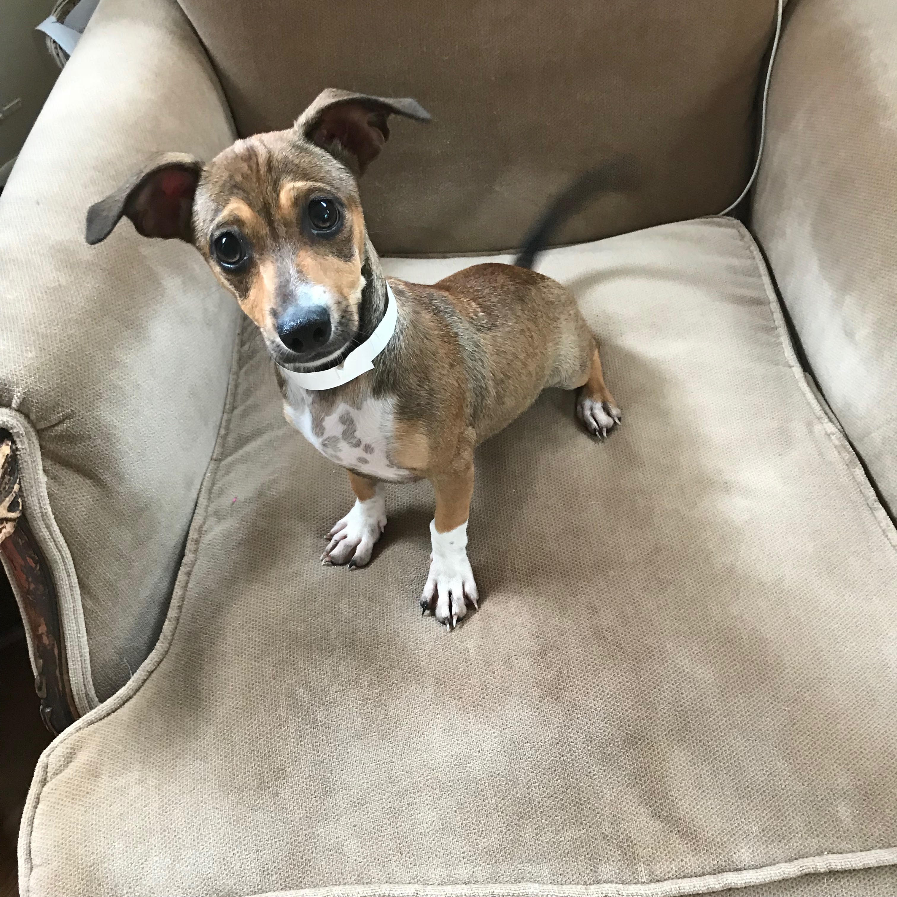 Juanita is a 10/12-week-old, 8-pound Dachshund who was evacuated before the storm from{ }Florence, South Carolina. If you are interested in adopting Juanita, you can meet her{ }Sunday (September 16) from 12-2 pm at the Kentlands PetSmart in Gaithersburg, MD. (Image: Courtesy Lucky Dog Animal Rescue){ }