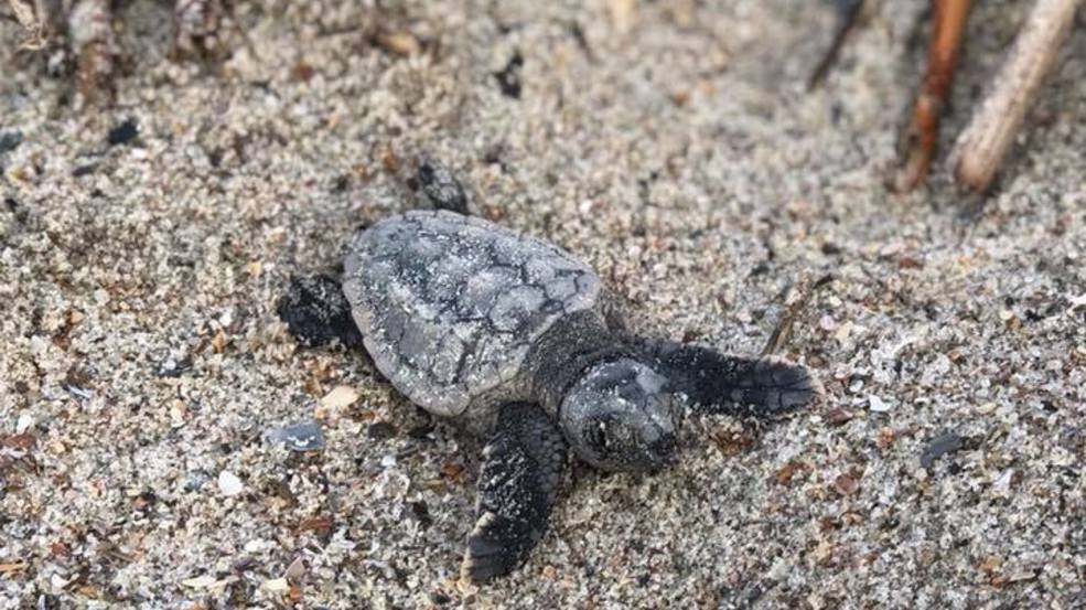 WATCH | Sea turtles hatch, scamper toward ocean in rare