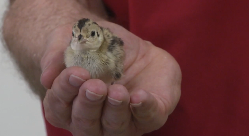 There's a certain bird that once was found in great numbers throughout central Illinois. (WICS)