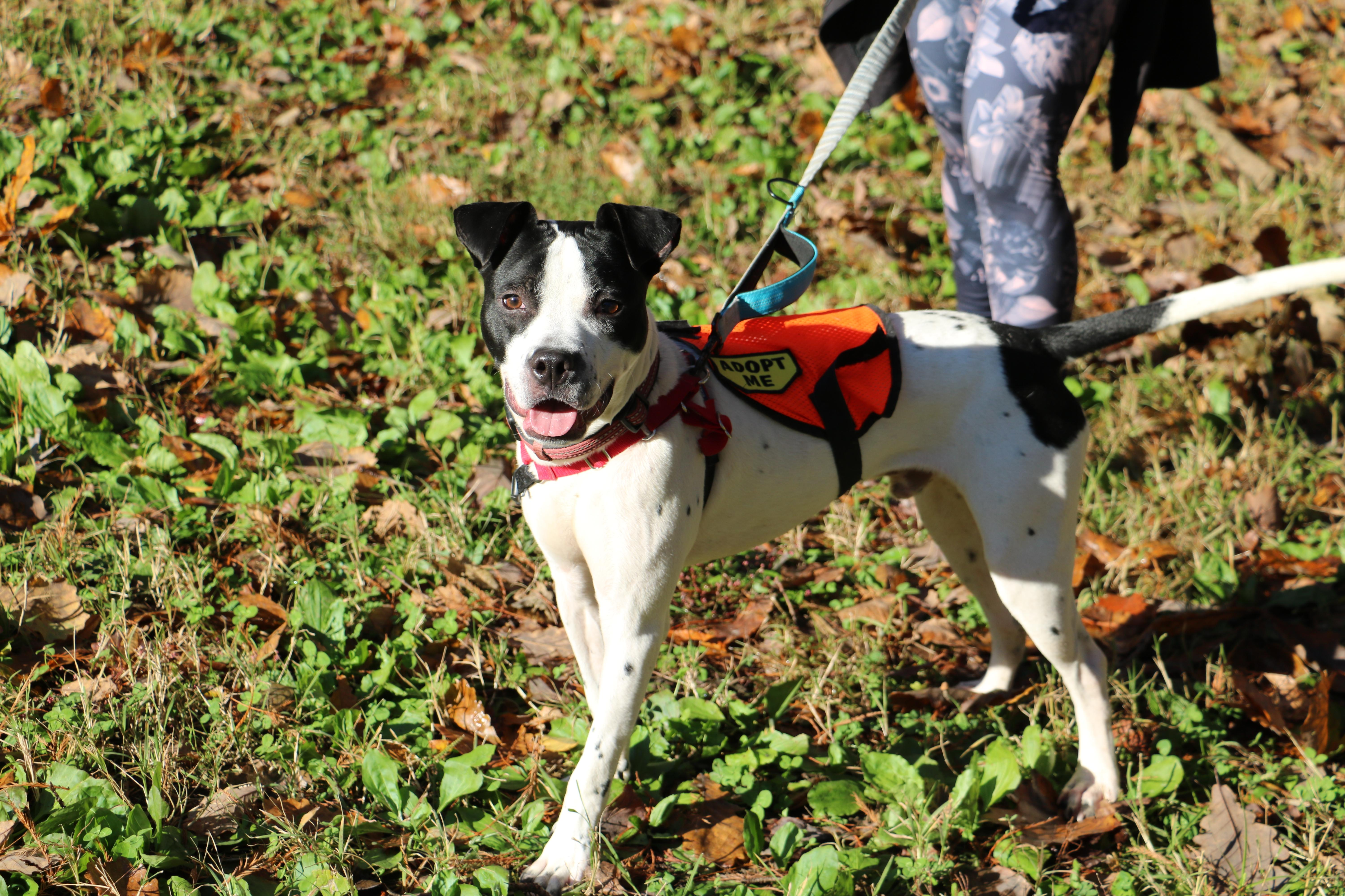 If Oggie sounds like the ideal dog for you, come out to HRA's Oglethorpe Street Adoption Center to meet Oggie today! (Image: Courtesy HRA)