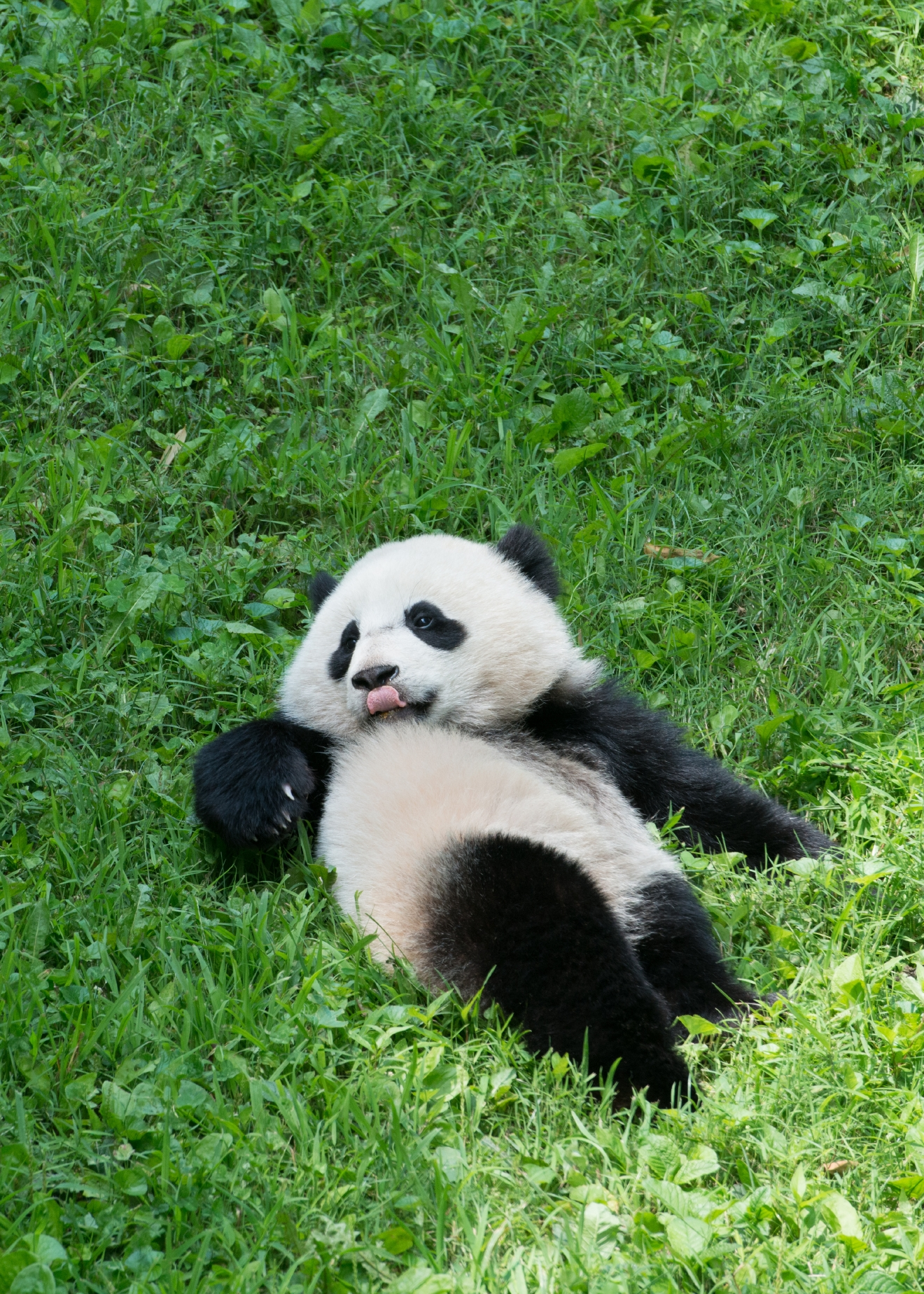 If there's anything that will unite all of D.C. it's our love for these fuzzy, tumbling, bamboo-loving little cuties! To celebrate the greatest national day we have heard of yet -- and yes, that's totally an objective opinion -- we rounded up a few of our favorite photos we've amassed of D.C.'s First (Panda) Family: Tian Tian, Mei Xiang, Bao Bao (WE MISS YOU!) and little Bei Bei! We hear there could be another panda cub in the future (Mei Xiang was artificially inseminated earlier this month), so stay tuned and enjoy!{ } (Image: Courtesy Abby Wood/Smithsonian's National Zoo)