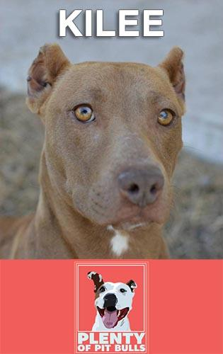Meet Kilee, a beautiful and crate trained Pit Bill/Terrier mix. She loves other dogs and is a big cuddler. Looking for a calm and quiet home, Kilee will make an excellent companion.                   Contact Plenty of Pit Bulls to learn more about Kilee and give her a forever home.