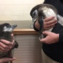 The names have been revealed for the penguin chicks at NEW Zoo