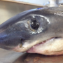 Small salmon shark washes up on Ore. beach