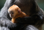Langur Baby 2018 6543 - Grahm S. Jones, Columbus Zoo and Aquarium.jpg