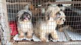 17 Shih Tzu puppies rescued from chick coop puppy farm
