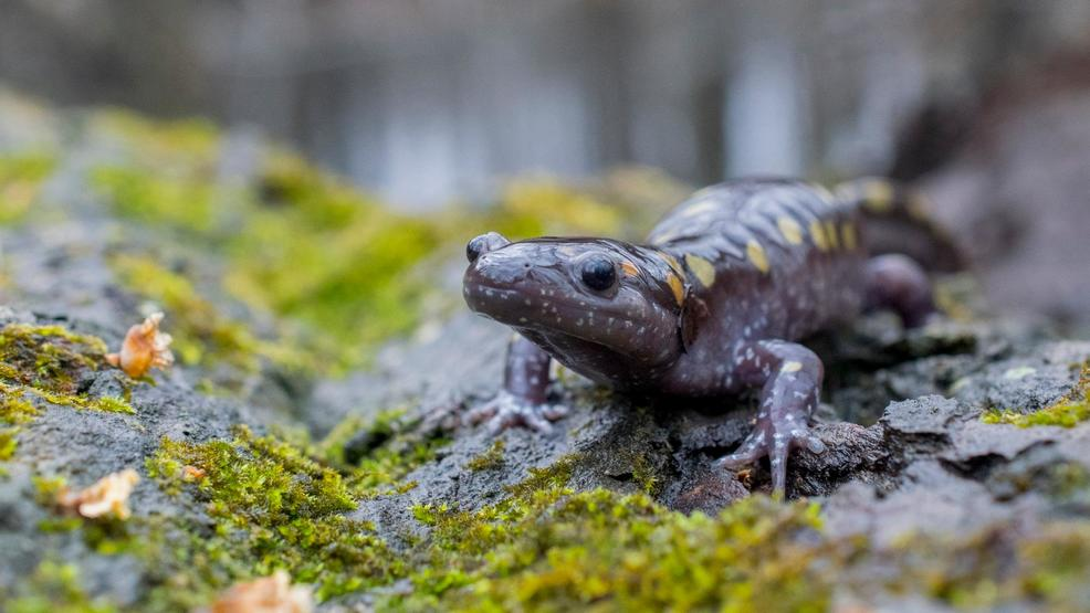 Spotted Salamander on moss 2.jpg
