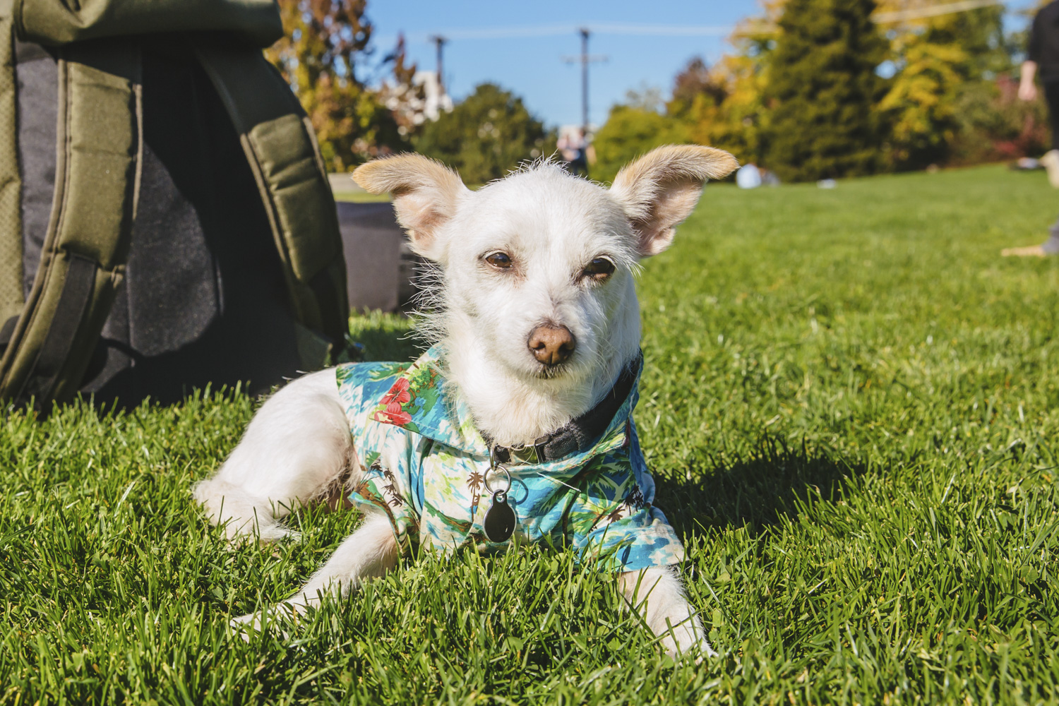 This tiny floof is Penny! Penny is a 14-year-old Chihuahua/Cairn Terrier Mix. Penny is originally from Los Angeles but made the trek up to Seattle after the 2010 wildfires in LA. Penny likes going to her mom's office, riding in her mom's backpack, and being a plus one! She also loves snow, hikes, sand and hair dryers. Penny dislikes alcohol (but loves going to bars), postal service workers and being left behind. The Seattle RUFFined Spotlight is a weekly profile of local pets living and loving life in the PNW. If you or someone you know has a pet you'd like featured, email us at hello@seattlerefined.com or tag #SeattleRUFFined and your furbaby could be the next spotlighted! (Image: Sunita Martini / Seattle Refined).