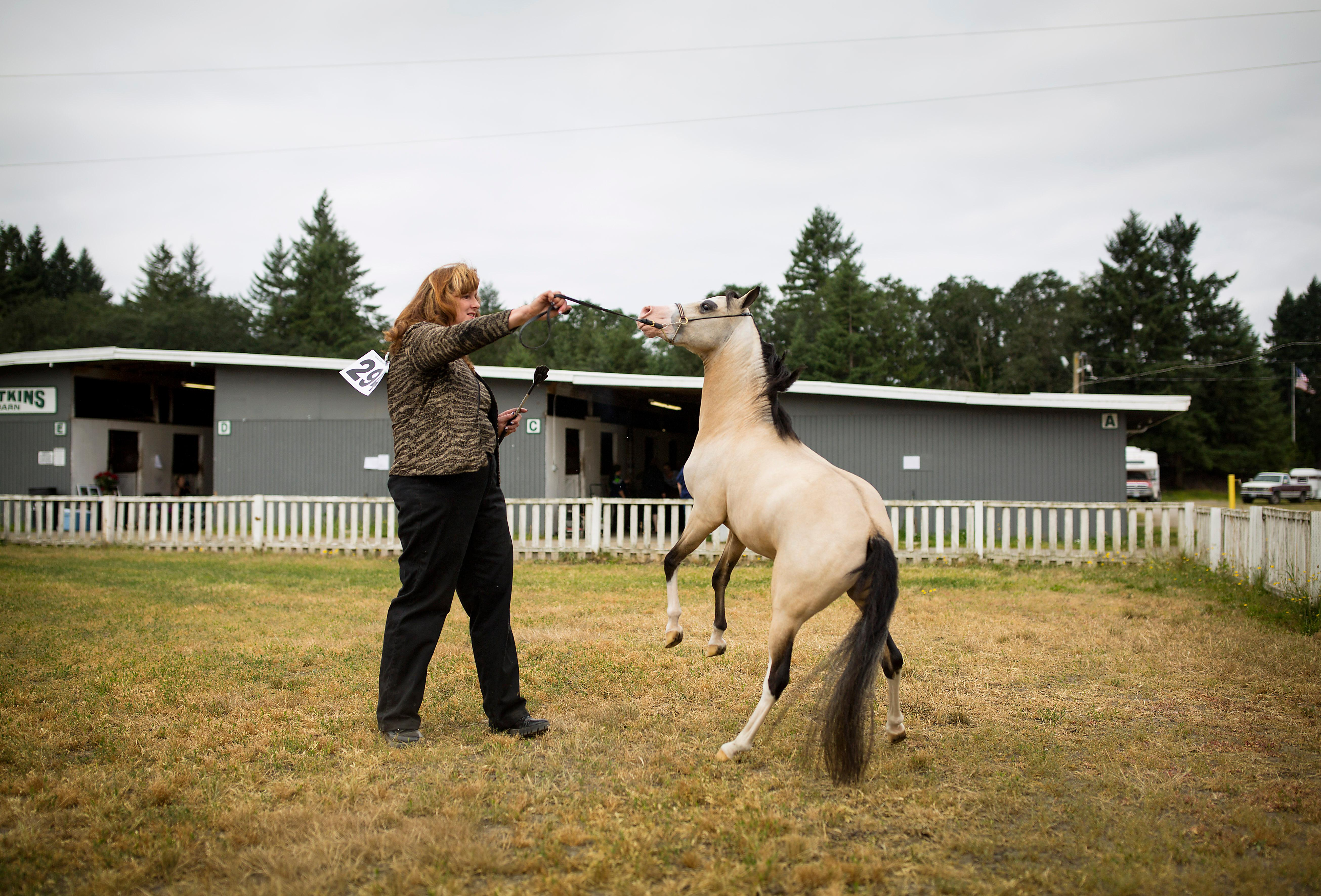 "Miniature horse trainers, professionals, and enthusiasts made their way out to the Evergreen Spectacular 12th Miniature Horse Show, put on the by Evergreen Miniature Horse Club, at the Washington Horseman Tacoma Unit #1 in Spanaway. The show has a Seahawks, ""12th man"" theme, and the judging of the minature horses and ponies will continue over the weekend. (Sy Bean / Seattle Refined)"