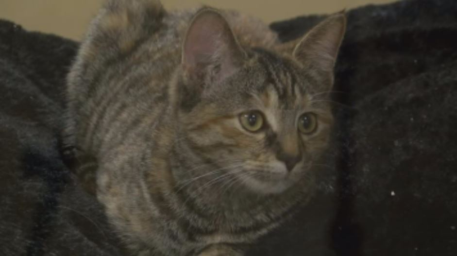 Cat available for adoption at the Quincy Humane Society<p></p>