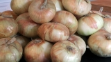 Harsh Oregon winter leads farmers to dispose of 100 million pounds of spoiled onions