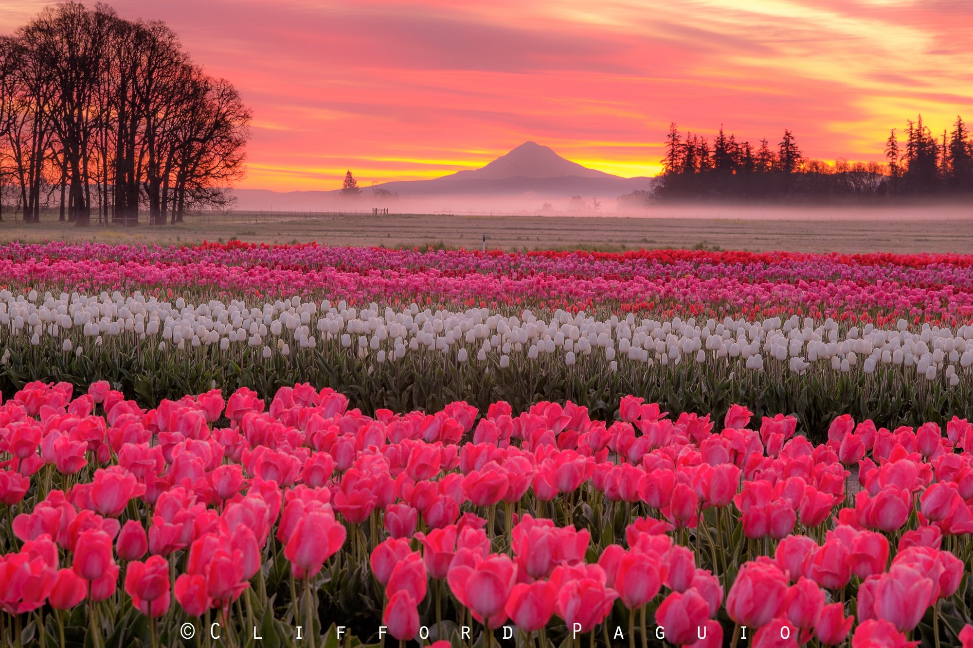 Spring flowers tulips blogs the black opal florist spring flowers tulips mightylinksfo