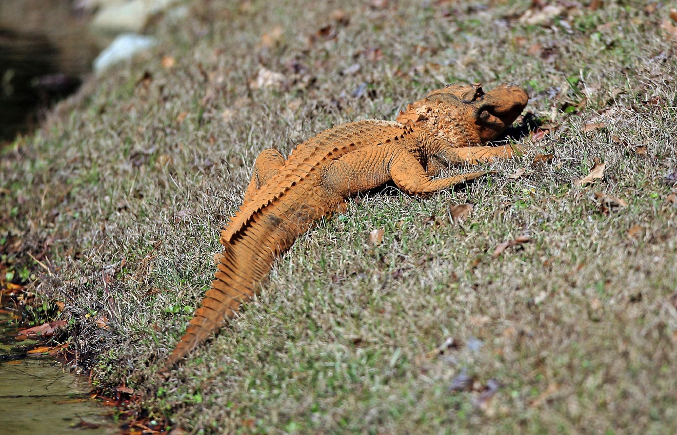 An orange alligator suns itself by a pond Thursday, Feb. 9, 2017 in Hanahan, S.C. Photos show the 4- to 5-foot-long alligator on the banks of a retention pond at the Tanner Plantation neighborhood. Jay Butfiloski with the South Carolina Department of Natural Resources says the color may come from where the animal spent the winter, perhaps in a rusty steel culvert pipe. Experts say the alligator will shed its skin and probably return to a normal shade soon.  (Leroy Burnell/The Post And Courier via AP)