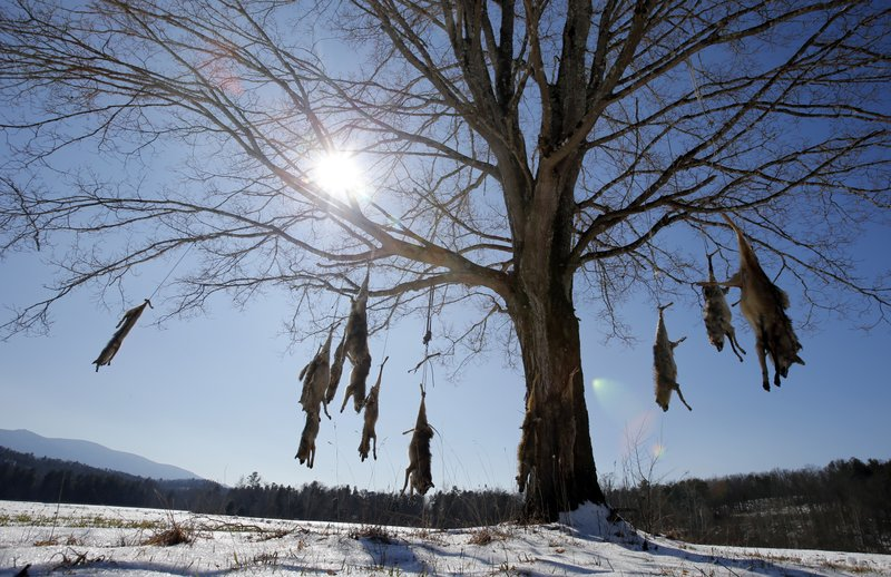 <p>Coyote carcasses hang from branches on a tree in the middle of a field in West Augusta, Va., Thursday, Feb. 8, 2018. Prowling coyotes have long been a routine nuisance in rural Virginia. They've gotten so prevalent that some residents are stringing up carcasses from tree branches at farms and ranches. State wildlife biologist Mark Fies says there are no population control benefits to stringing up dead coyotes. (AP Photo/Steve Helber)</p>