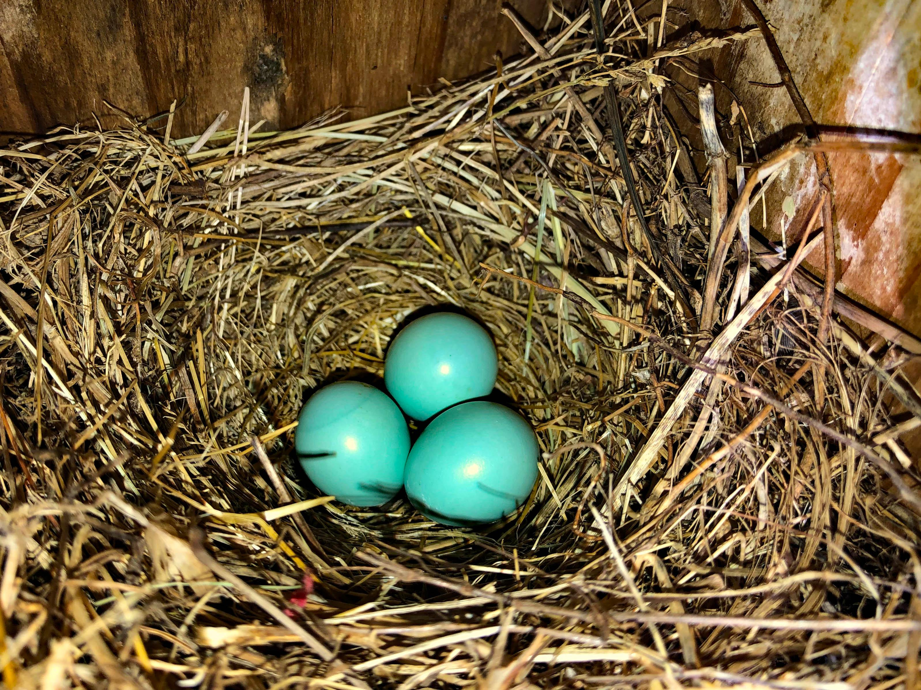 Within days these bluebird eggs will hatch and parents will be busy trying to gather enough food to keep the babies fed, before they leave the nest and even for a while after they leave the nest. (Photo: Richard Simms)