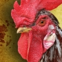 4 face cockfighting charges after 3 roosters found in car