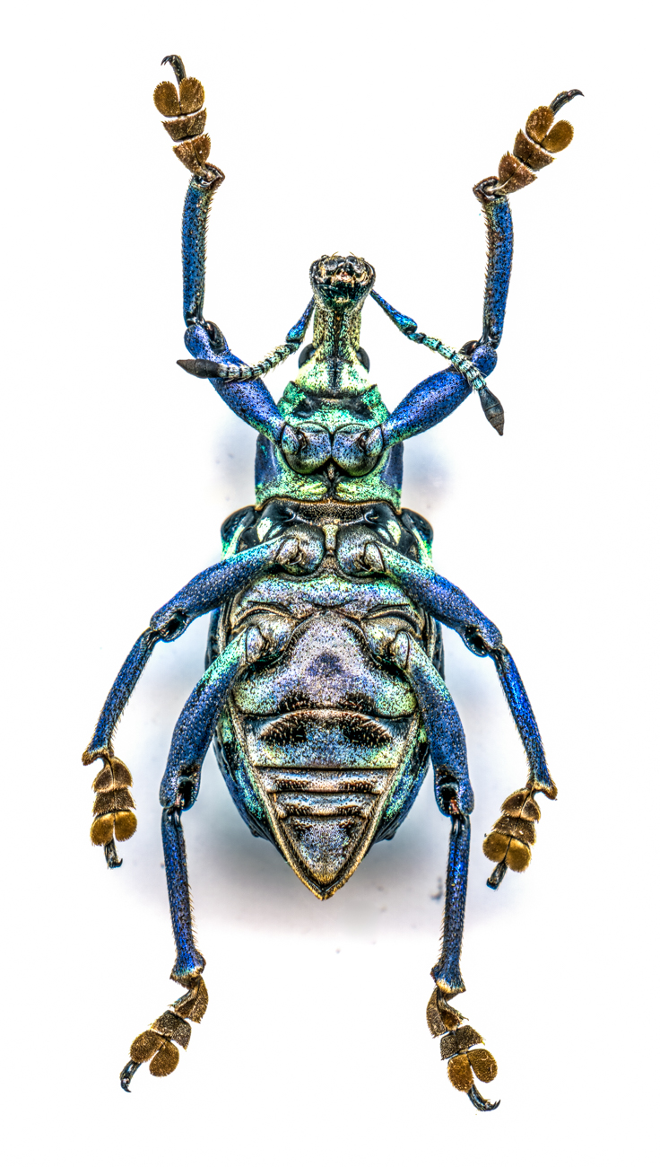 Blue Weevil{ }/ Image: Catherine Viox // Published: 4.12.20