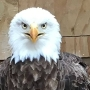 Rescued eagle dies after ingesting lead pellets