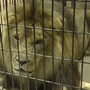 NEW Zoo lion euthanized due to cancer