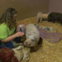 So-called teacup pigs won't stay small for long; Lollypop Farm raises awareness