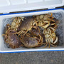 Recreational crabbing closed for portion of Oregon Coast