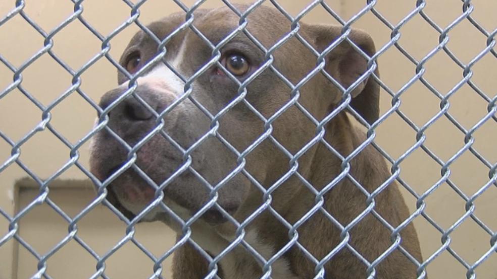 Pit bulls will be legal again in Yakima starting Sunday | KIMA