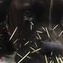 Dog has unfortunate run-in with porcupine